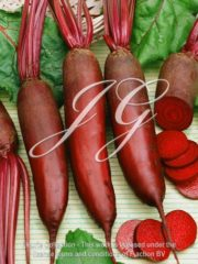 botanic stock photo Beet Alto Cylindrica