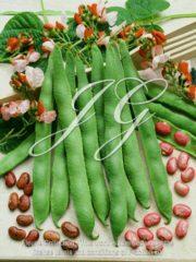 botanic stock photo Runner Bean Hestia