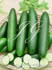 botanic stock photo Cucumber F1 La Diva
