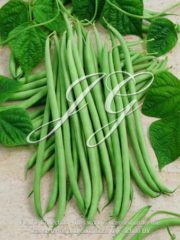 botanic stock photo Climbing Filet Bean Pastoral