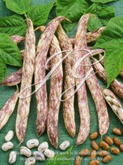 botanic stock photo Bush Bean Merveille di Piemonte