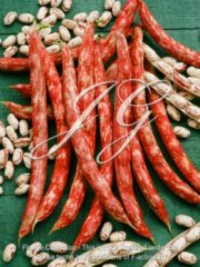 botanic stock photo Dry Bush Bean Coco de Prague
