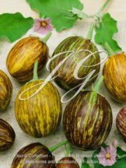 botanic stock photo Eggplant Udumalpet