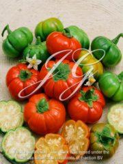 botanic stock photo Eggplant Goyo Cumba