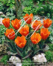 botanic stock photo Tulipa Early Harvest