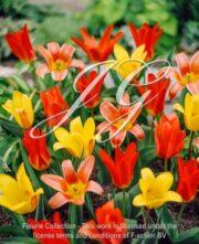botanic stock photo Tulipa kaufmannia Mixed