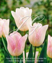 botanic stock photo Tulipa Julie's Wedding