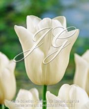 botanic stock photo Tulipa W3