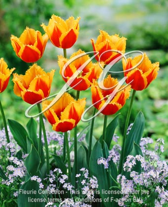 botanic stock photo Tulipa Palmares