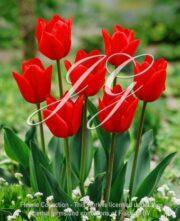 botanic stock photo Tulipa A-2