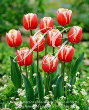botanic stock photo Tulipa RW 2