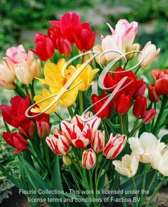 botanic stock photo Tulipa Candy Mixed
