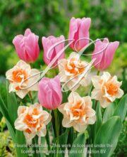 botanic stock photo Tulipa Mistress & Narcissus Replete
