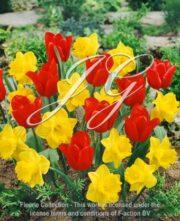 botanic stock photo Tulipa Sybilla & Narcissus Yellow River
