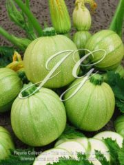 botanic stock photo Courgette F1 Ice Ball