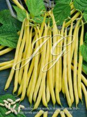 botanic stock photo Bush Bean Voleta