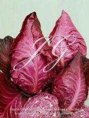 botanic stock photo Red Cabbage F1 Kalibos