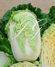 botanic stock photo Chinese Cabbage F1 Questar