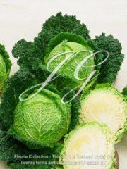 botanic stock photo Savoy Cabbage F1 Serve