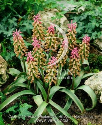 botanic stock photo Muscari Muscari
