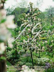 botanic stock photo AppleTree Flowering