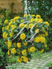 botanic stock photo Lysimachia Lyssi