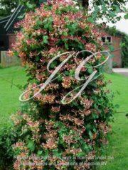 botanic stock photo Lonicera Chinensis
