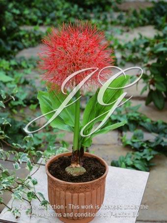 botanic stock photo Haemanthus multiflorus