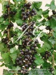 botanic stock photo Ribus Jostaberry