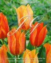 botanic stock photo Tulipa El Nino