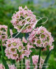 botanic stock photo Nectaroscordum tripedale