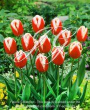 botanic stock photo Tulipa Leen van der Mark