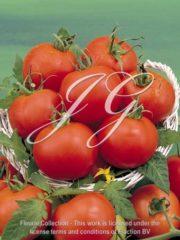 botanic stock photo Tomato Chaser
