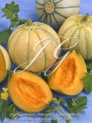 botanic stock photo Cucumis Charentais