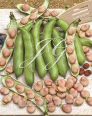 botanic stock photo Phaseolus vulgaris Karmozijn