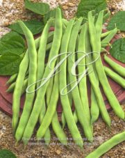 botanic stock photo Phaseolus vulgaris Dea