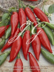 botanic stock photo Pepper Poisson Bulgare