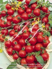 botanic stock photo Tomato Super sweet