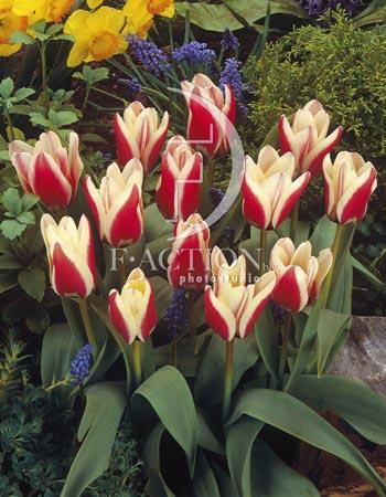 botanic stock photo Tulipa
