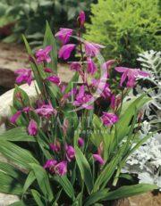 botanic stock photo Bletilla