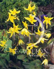 botanic stock photo Erythronium
