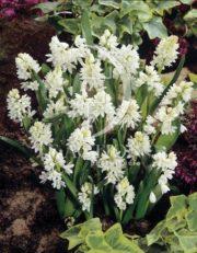 botanic stock photo Puschkinia scilloides