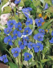 botanic stock photo Commelina