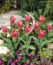botanic stock photo Tulipa