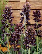 botanic stock photo Fritillaria