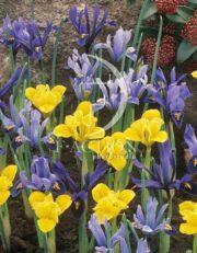botanic stock photo Iris reticulata
