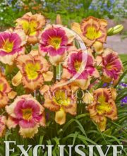 botanic stock photo Hemerocallis