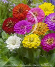 botanic stock photo Zinnia