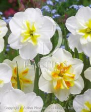 botanic stock photo Narcissus